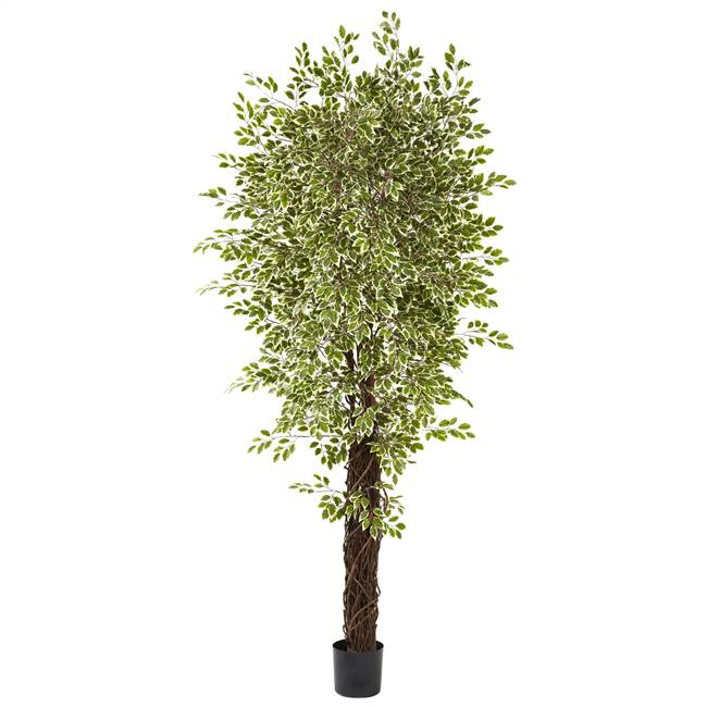 7.5' Variegated Mini Ficus w/4131 Lvs