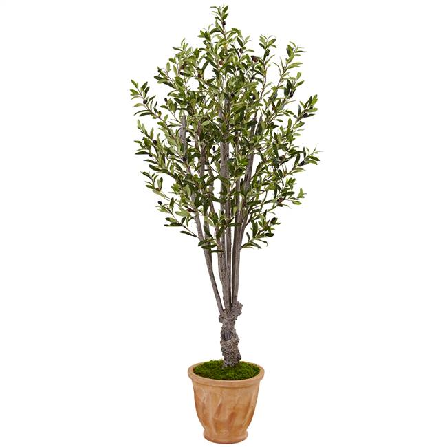 5' Olive Tree in Terracotta Planter
