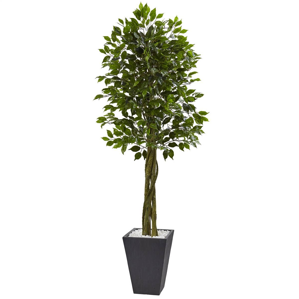 Climb The Walls With Ficus Pumila Steemit