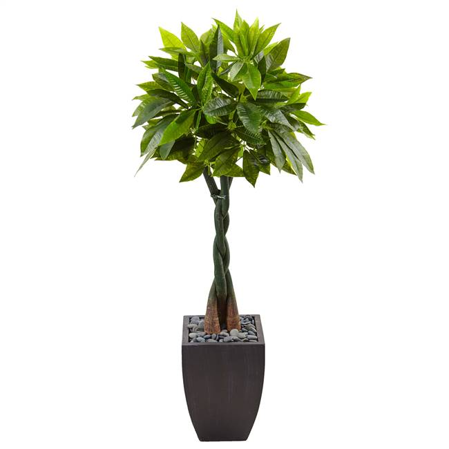 5' Money Tree in Black Square Planter