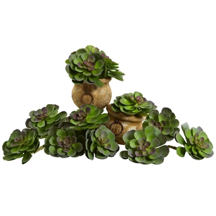 "6"" Echeveria Succulent (Set of 12)"