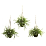 Ruscus, Sedum & Springeri Hanging Basket (Set of 3)