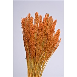 "Canary Grass, Autumn Color, 24"" 1 Bunch"