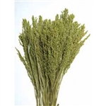 "Canary Grass, Light Green, 24"" 1 Bunch"
