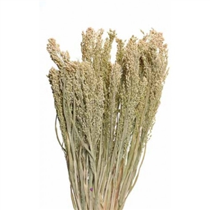 "Canary Grass, Natural, 24"" 1 Bunch"