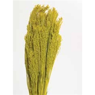 "Canary Grass, Yellow, 24"" 1 Bunch"