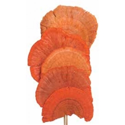 "Mushroom Sponge 16"", Orange, 6pc/Bunch"