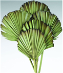 "Palm Leaves, Burnt Tips, Light Green 5"" x 20"", 5pc/Bunch"