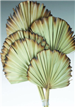 "Palm Leaves, Burnt Tips, Natural 5"" x 20"", 5pc/Bunch"