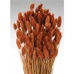 Phalaris, Burnt Oak, 4oz/Bunch