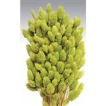 Phalaris, Light Green, 4oz/Bunch
