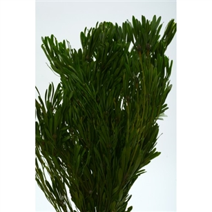 Platyspermum Foliage, Preserved, Natural Green, 5oz Bunch