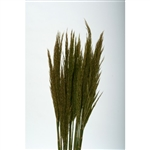 Plume Reed, Preserved Natural Green, 1 Bunch