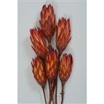 "Red Repens, 12"", 1 Bunch"