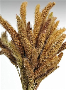 Dried Setaria, Natural Color, 4oz/Bunch