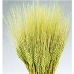 Wheat, Basil Color, 8oz/Bunch