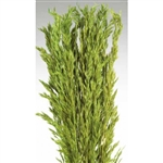 "Wild Oats, Light Green Color, 38"", 8oz/Bunch"