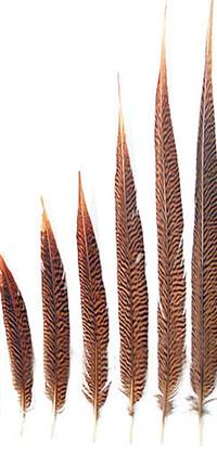 "Golden Pheasant Tail Feathers 12-14"" - Per 100"