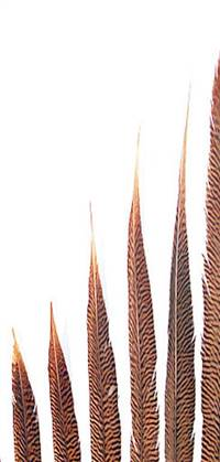 "Golden Pheasant Tail Feathers 14-16"" - Per 100"