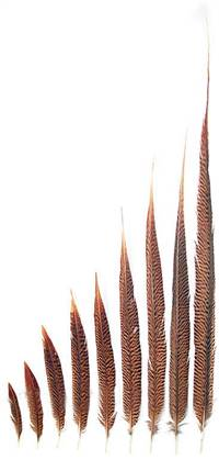 "Golden Pheasant Tail Feathers 6-8"" - Per 100"