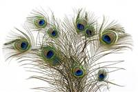 "Natural Peacock Feathers Cat Toy, 30""-40"" (Pack of 10) - CATS LOVE THESE! FREE SHIPPING"