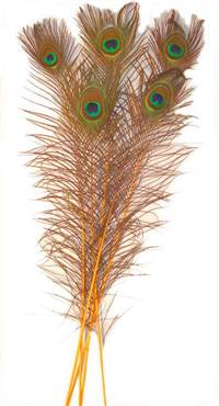 "Eyed Peacock Sticks 30-35"" Dyed Gold - Per 100"