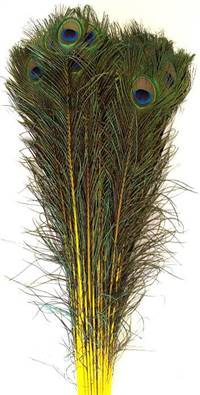 "Eyed Peacock Sticks 35-40"" Dyed Yellow - Per 100"