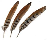 "Reeves Pheasant Tail Feathers 8-10"" - Per 100"