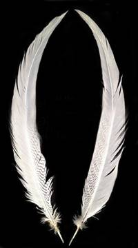 "Silver Pheasant Tail Feathers 25-27"" Bleached White - Per Feather"