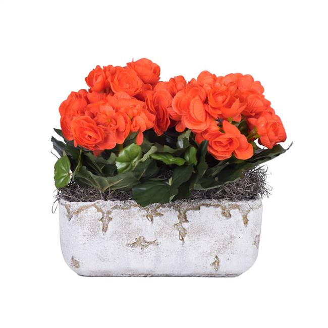 "10"" Orange Begonia in Cement Rectangle"