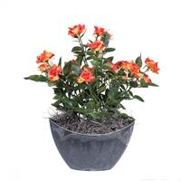 "13.5"" Orange Mini Rose in Oval Container"