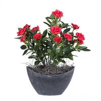 "13.5"" Red Mini Rose in Oval Container"