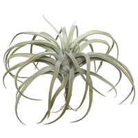 "10.5"" Gray Tillandsia Pick"