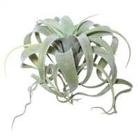 "10.5"" Green Tillandsia Pick"