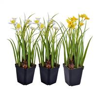 "12"" White/Yellow Daffodil Set/3"