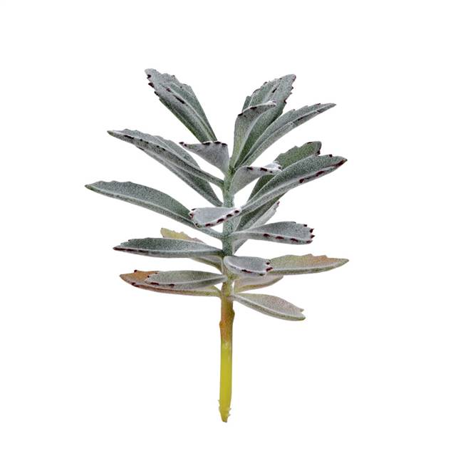 "8"" Green Succulent Pick Pk/4"