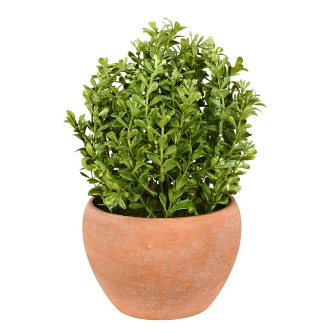 "10"" Green Boxwood Moderne Bush/Container"