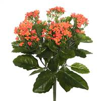 "17.25"" Orange Kalanchoe Bush"