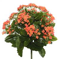 "15"" Orange Kalanchoe Bush"