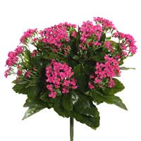"15"" Hot Pink Kalanchoe Bush"