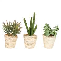 "5""  Potted Succulent Cactus Asst Set/3"