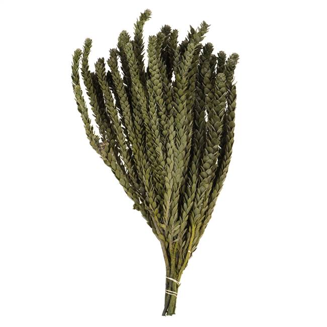 "12-16""  Mini Green Buxifolia -4oz Bundle"