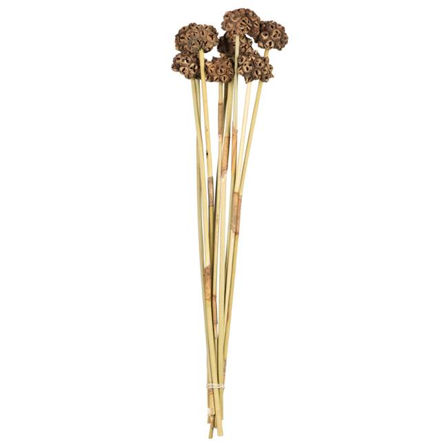 "18-24"" Natural Spider Knobs on Reed Stem"
