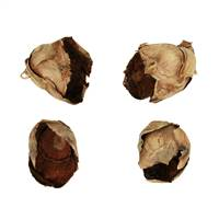 "2-3"" Natural Cacho Pods - 60/Case"