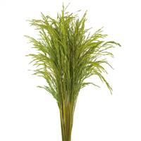 CONGO GRASS, LIGHT BASIL, 8 OZ. BUNCH (C