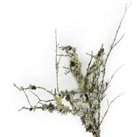 Varies Natural Curly Lichen Branches bul