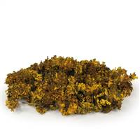 Box Aspen Gold Moss, Curly Lichen bulk