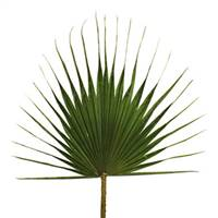 "40-47"" Grn Washingtonia Palm Frond 30/Bx"