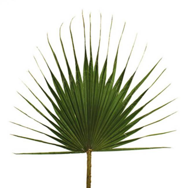 "47-55"" Grn Washingtonia Palm Frond 30/Bx"