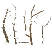Natural Winged Elm Branches - Bulk